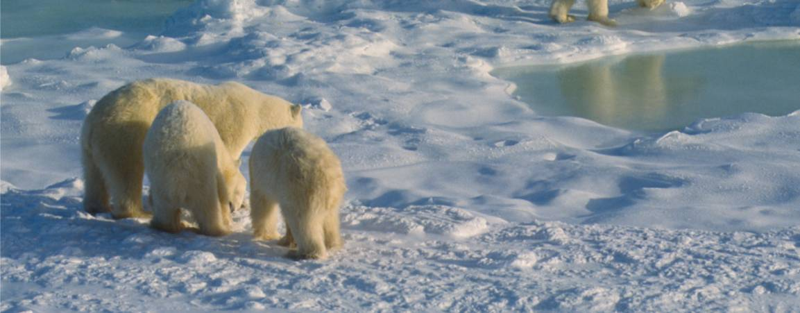 Mom and cubs on sea ice