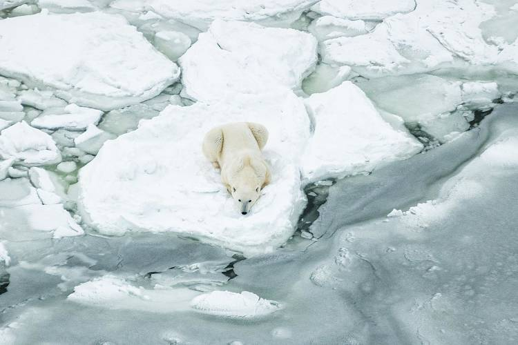 Ariel view of a polar bear laying on it's belly on the edge of the sea ice