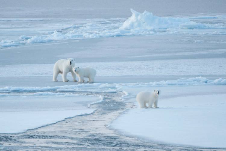 Zoomed out view of 3 polar bears on sea ice