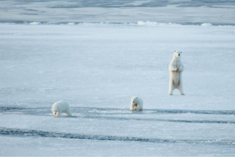 Polar bear standing on its hind legs with two other polar bears walking across the ice