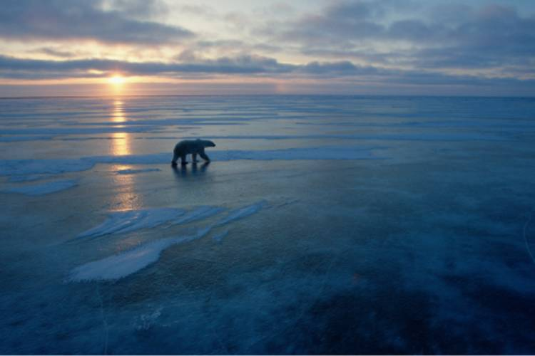 A polar bear traveling across the ice during sunset