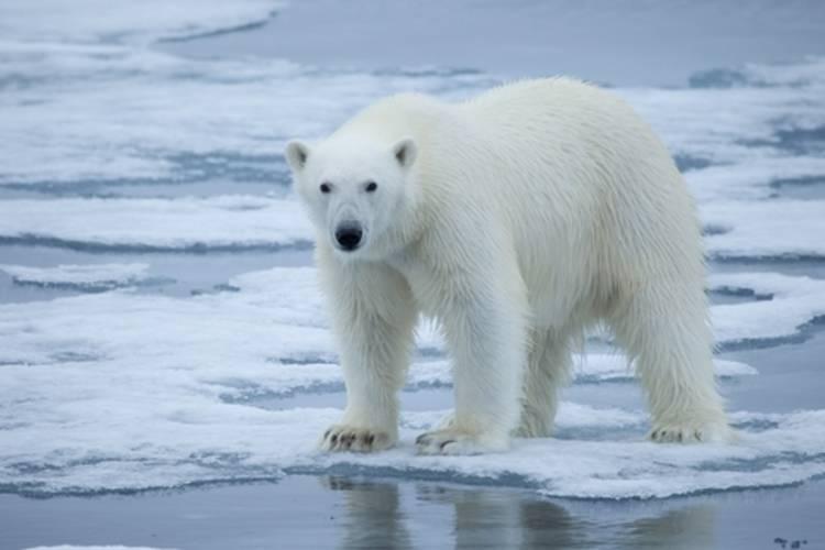 Polar bear standing on ice