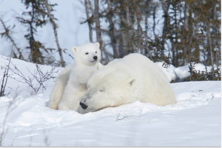 A mother bear sleeps while her cub leans on her