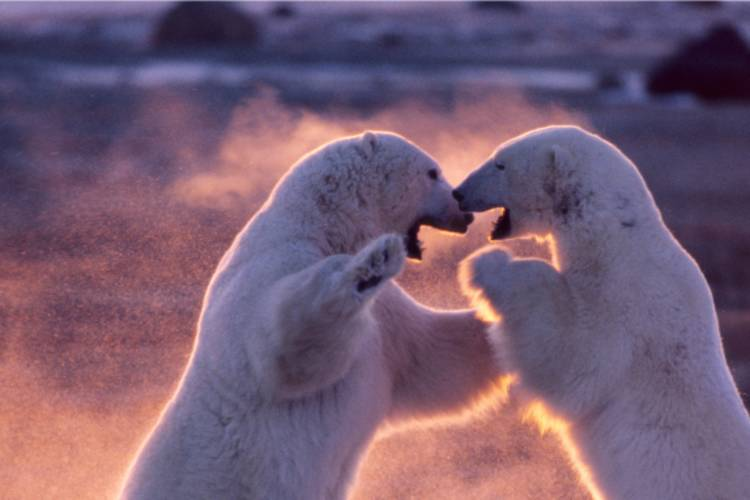 Two polar bears play fighting