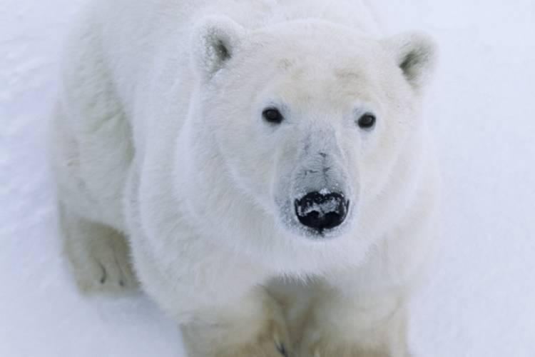 Polar bear looking at camera image