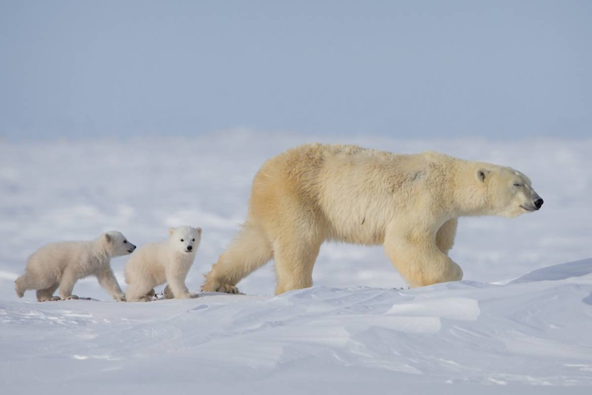 Mama polar bear walking with her two cubs following behind image