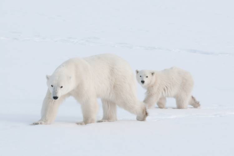Polar bear mother and her cub walking behind her image