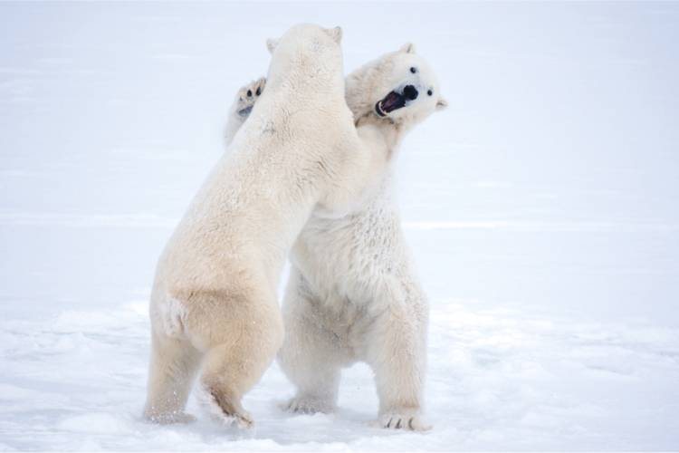 Two bears play fighting image
