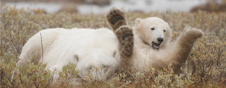 Polar bear laying on its back with its paws up, while another bear sleeps beside it