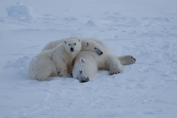 A polar bear mom snuggles with her two cubs
