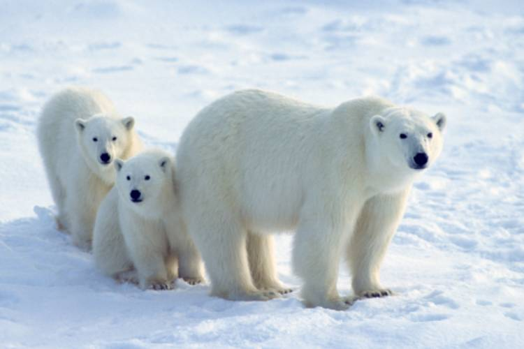 Mother bear and her cubs image