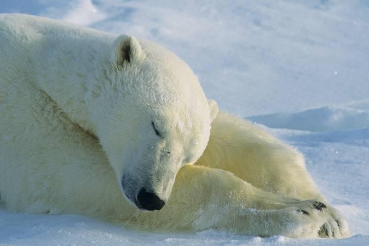 Polar bear sleeping on paws