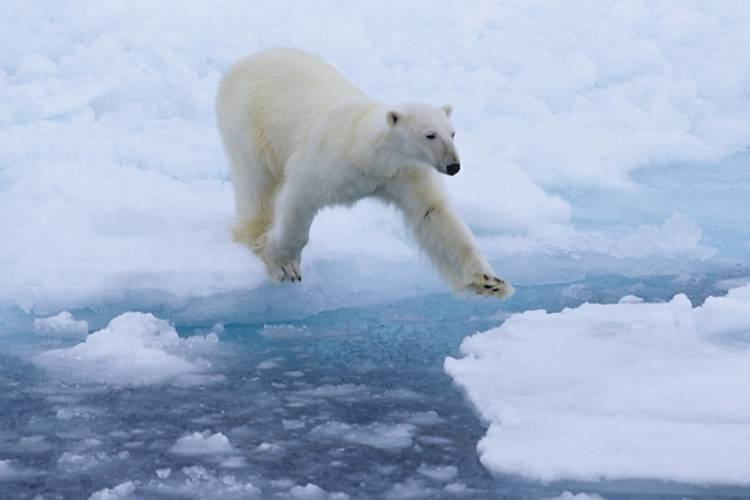 Polar bear leaping from ice over water