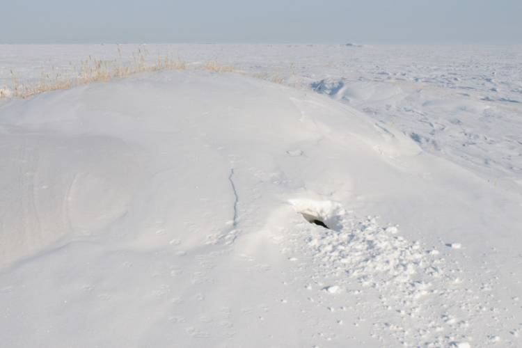 Polar bear den site showing the opening in the snow after the family has emerged