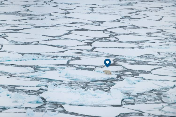 Geographical pin above a polar bear that's traveling on ice