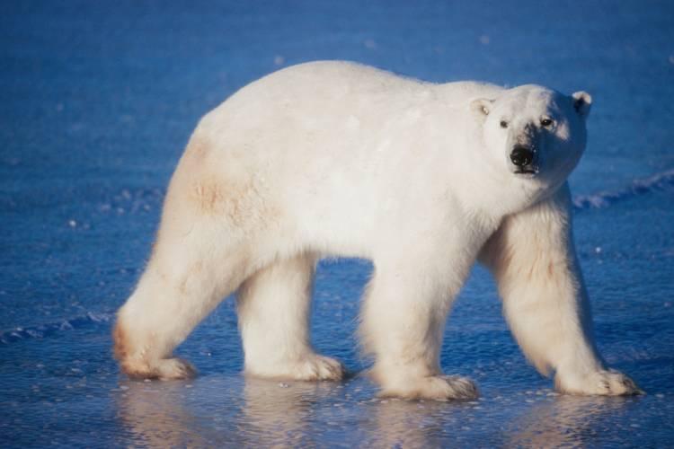 Polar bear looking at camera while walking on frozen tundra