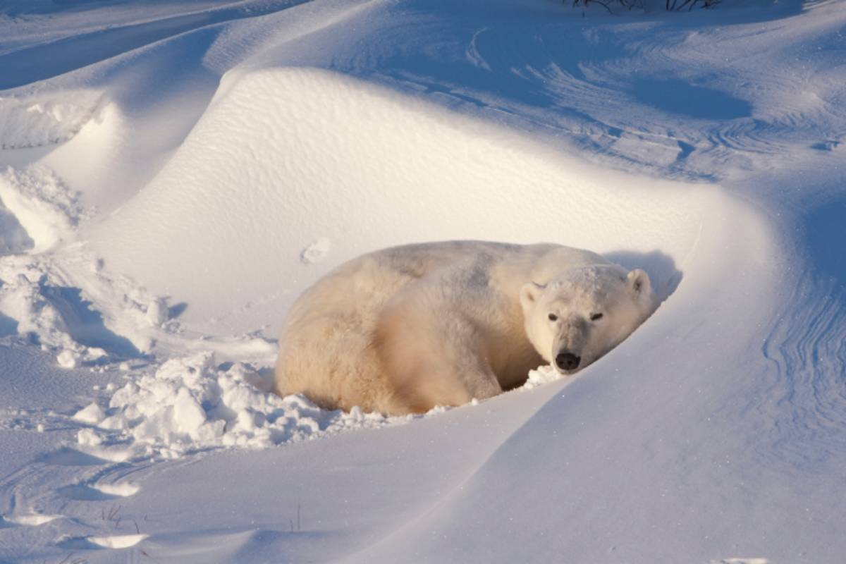 A polar bear laying in the snow.