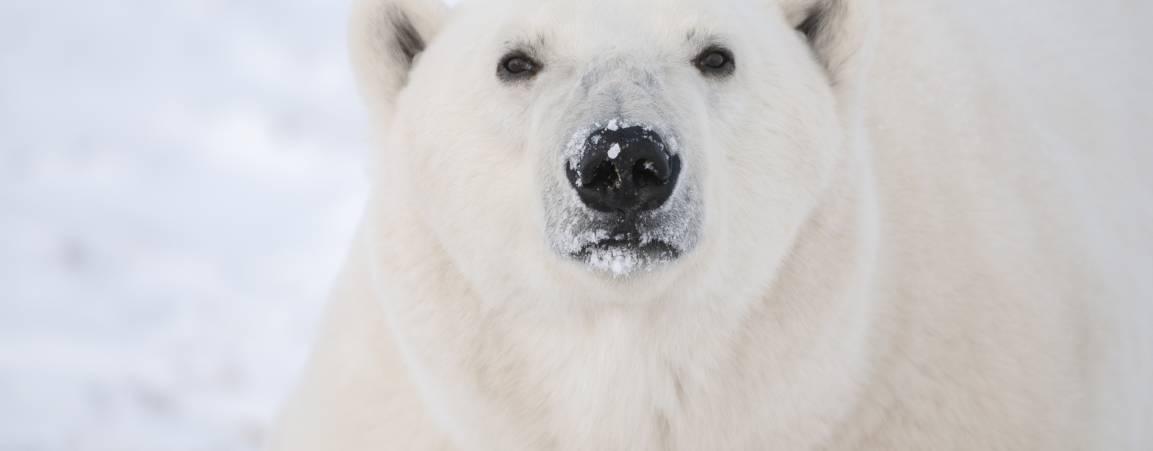 Close up of a polar bear's face