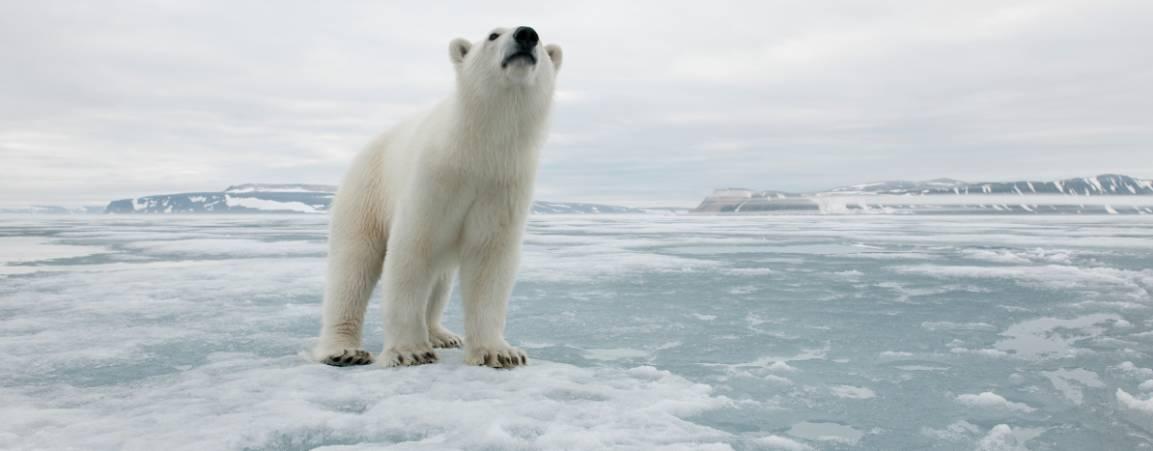 Polar bear on ice with head looking up