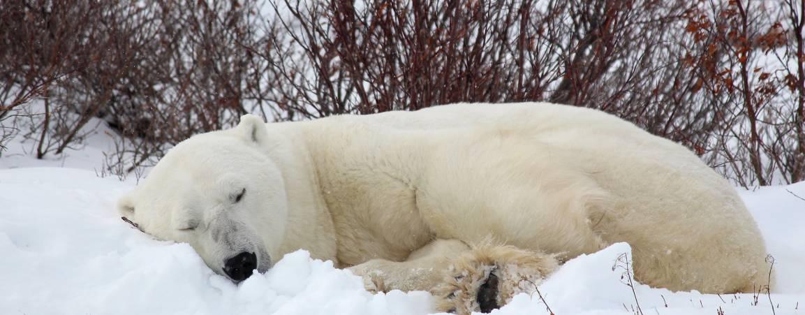 Sleeping polar bear in Wapusk National Park