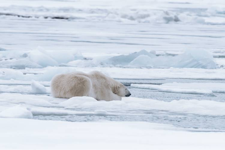 Bear laying on the ice looking for food image