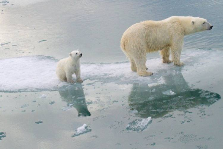 A mother bear standing on melting ice with a cub bear