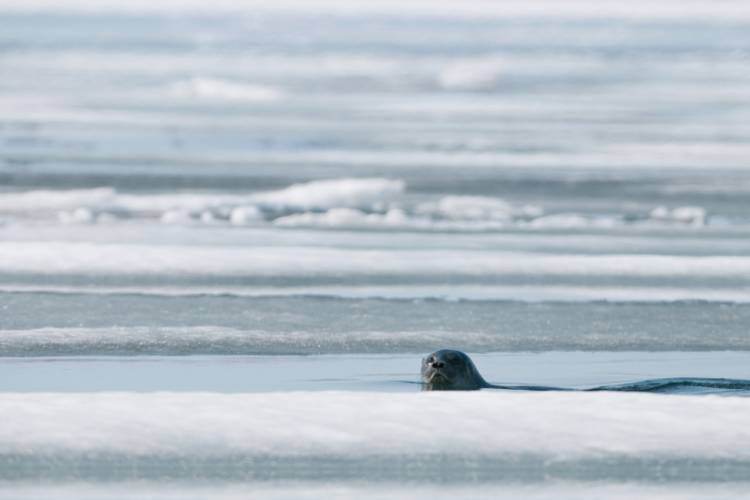 Seal popping its head out of the ice image