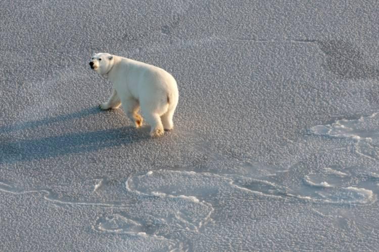 Polar Bear looking over shoulder