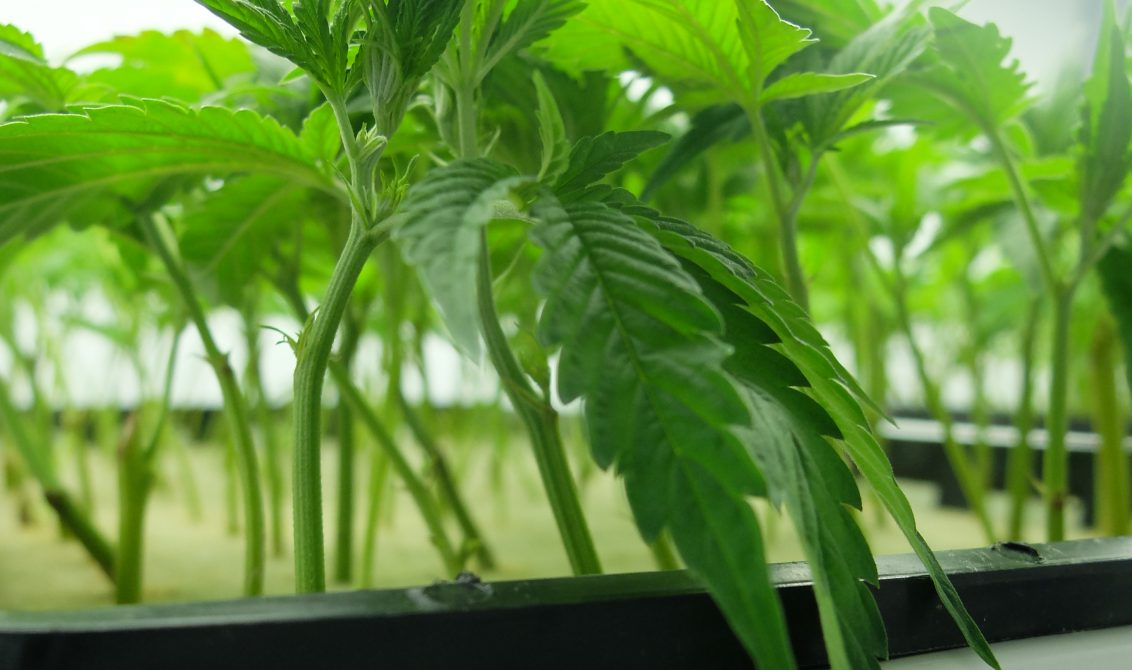 Where to get cannabis clones and seeds legally in Canada