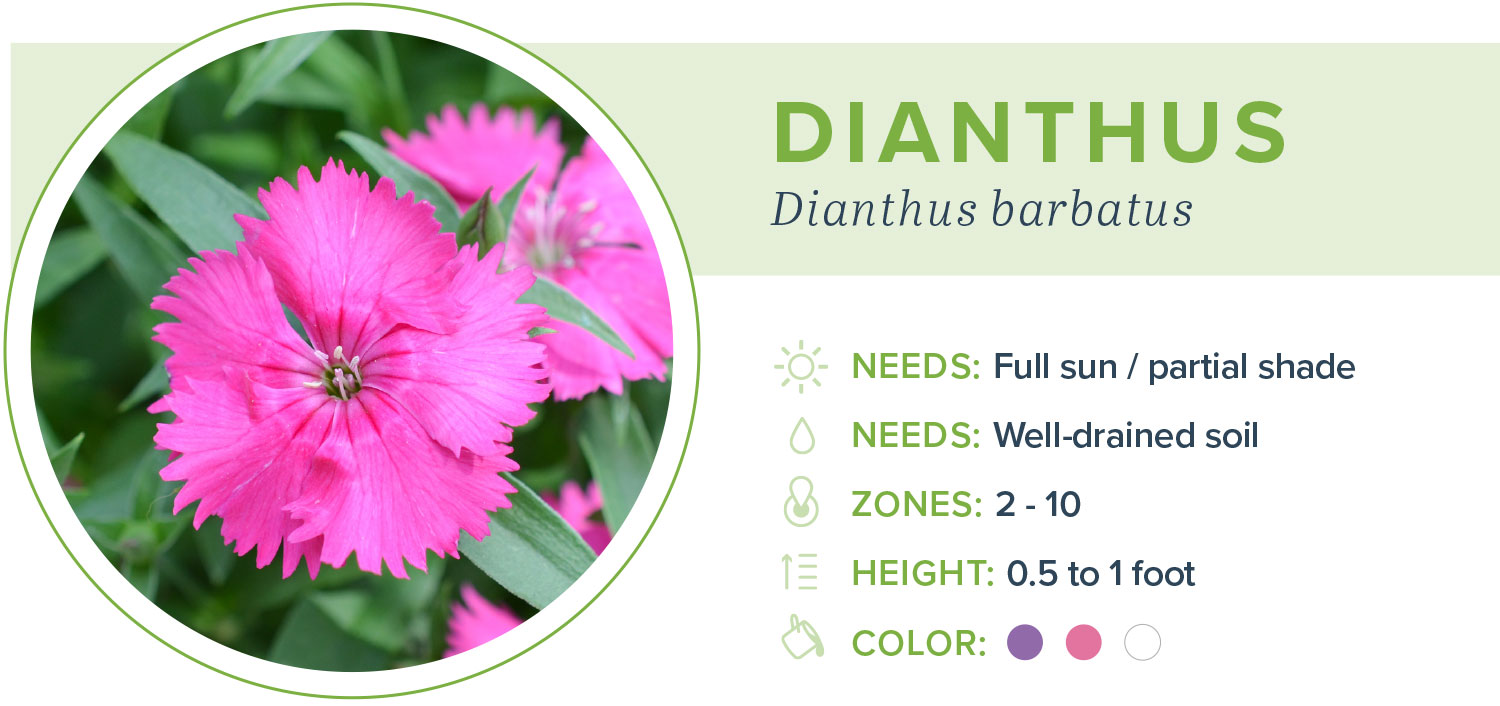 annual flowers dianthus information