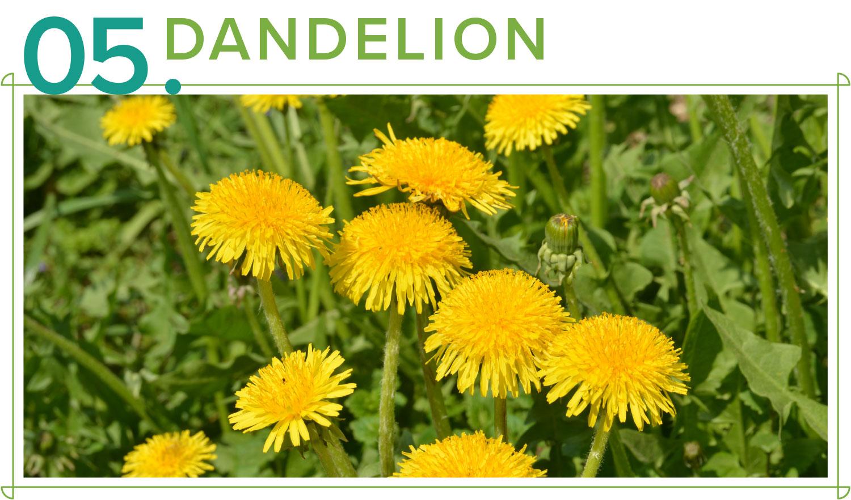 dandelion medicinal plants