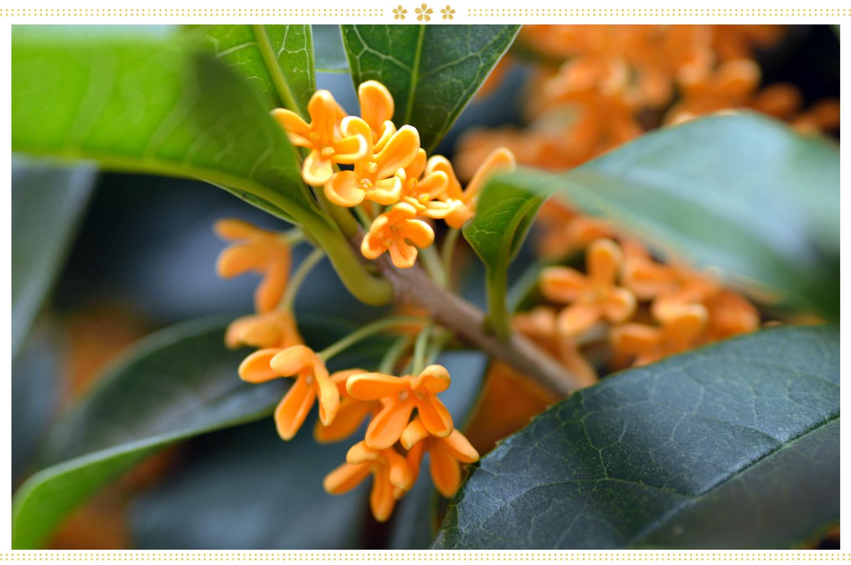 japanese flowers kinmokusei