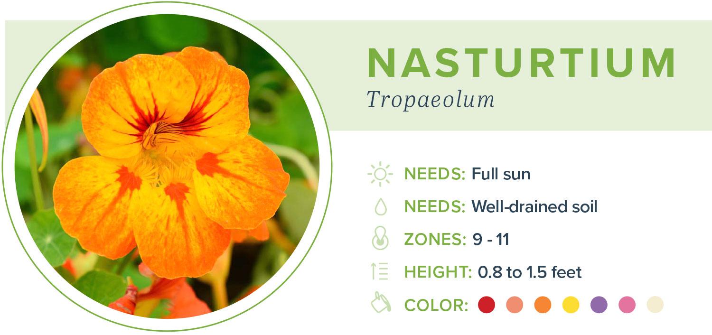 annual flowers nasturtium info