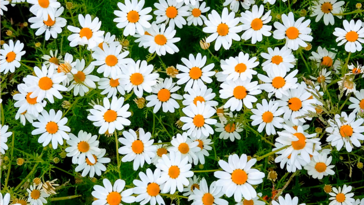 Daisies in sunshine. The daisies have white petals and a yellow flower head.