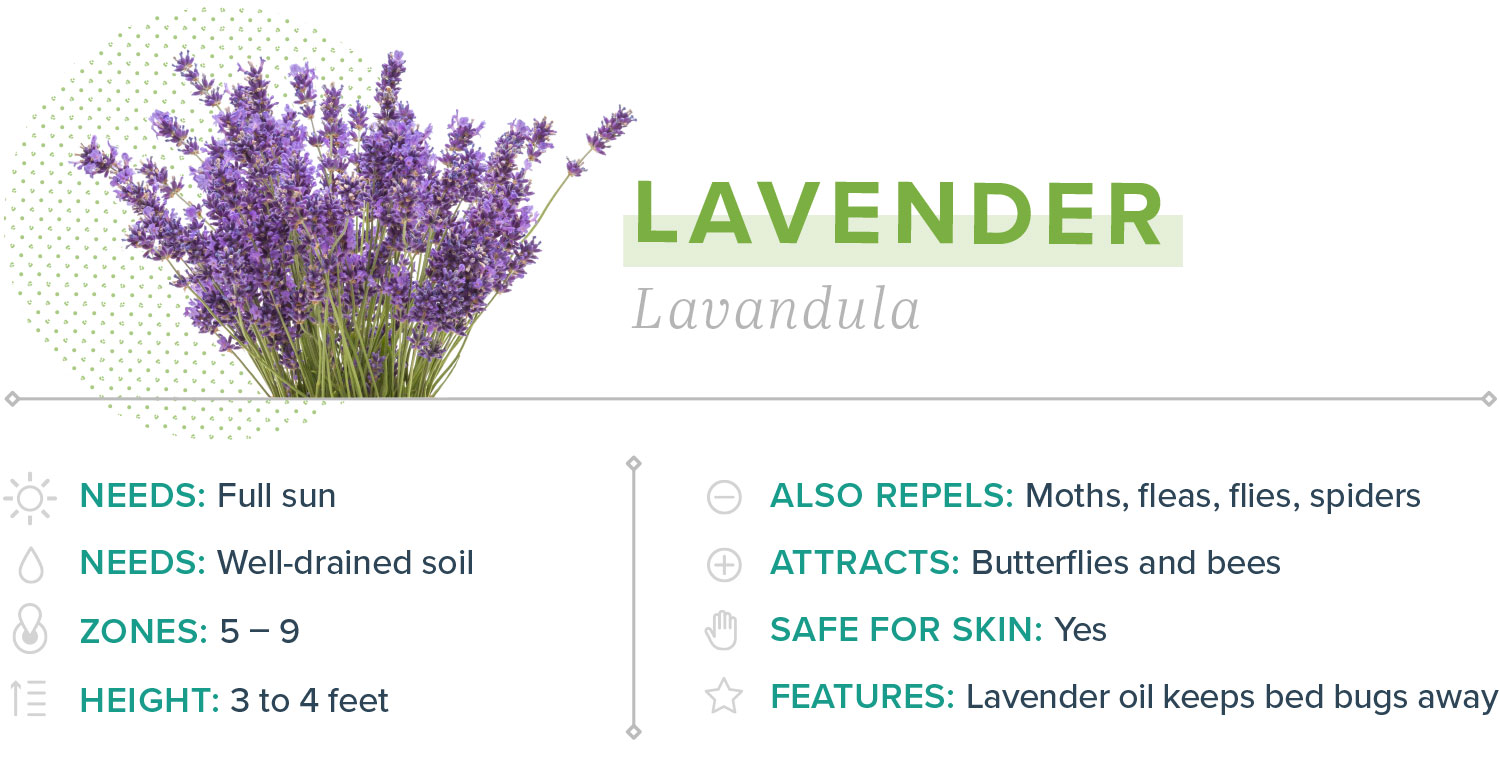 lavender plants that repel mosquitoes