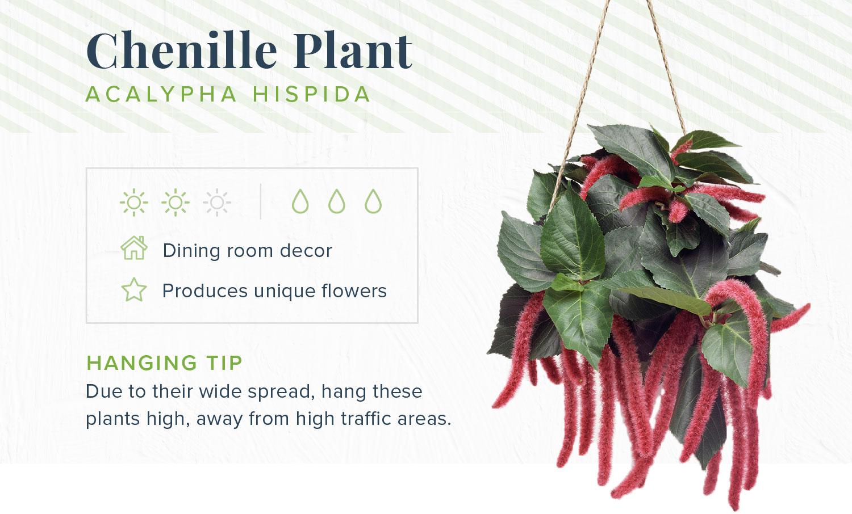 chenille plant indoor hanging plants