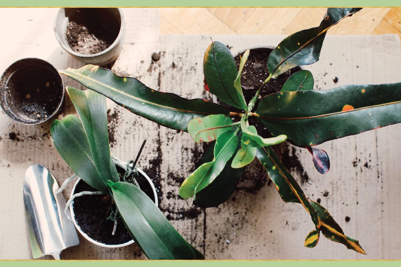 repotting green plants