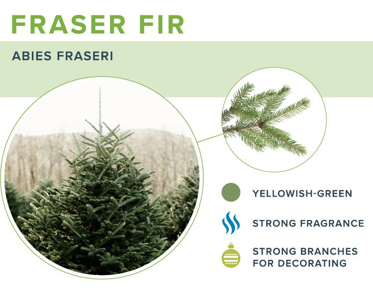 types of christmas trees fraser