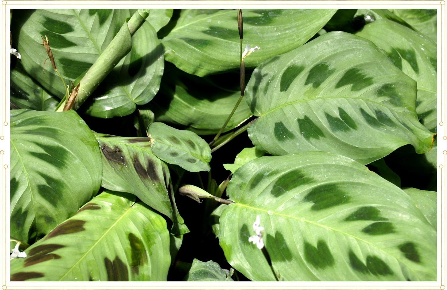 image of a green prayer plant