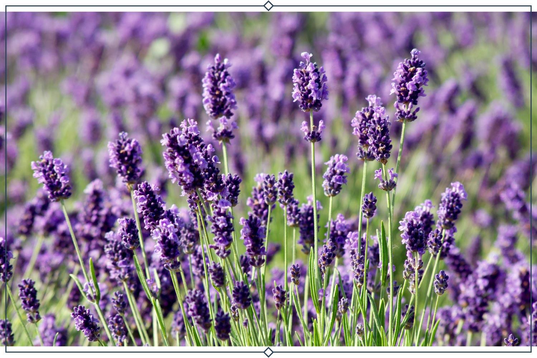 hidcote giant lavender type