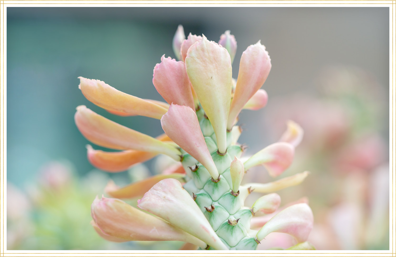 tricolor jade plant image
