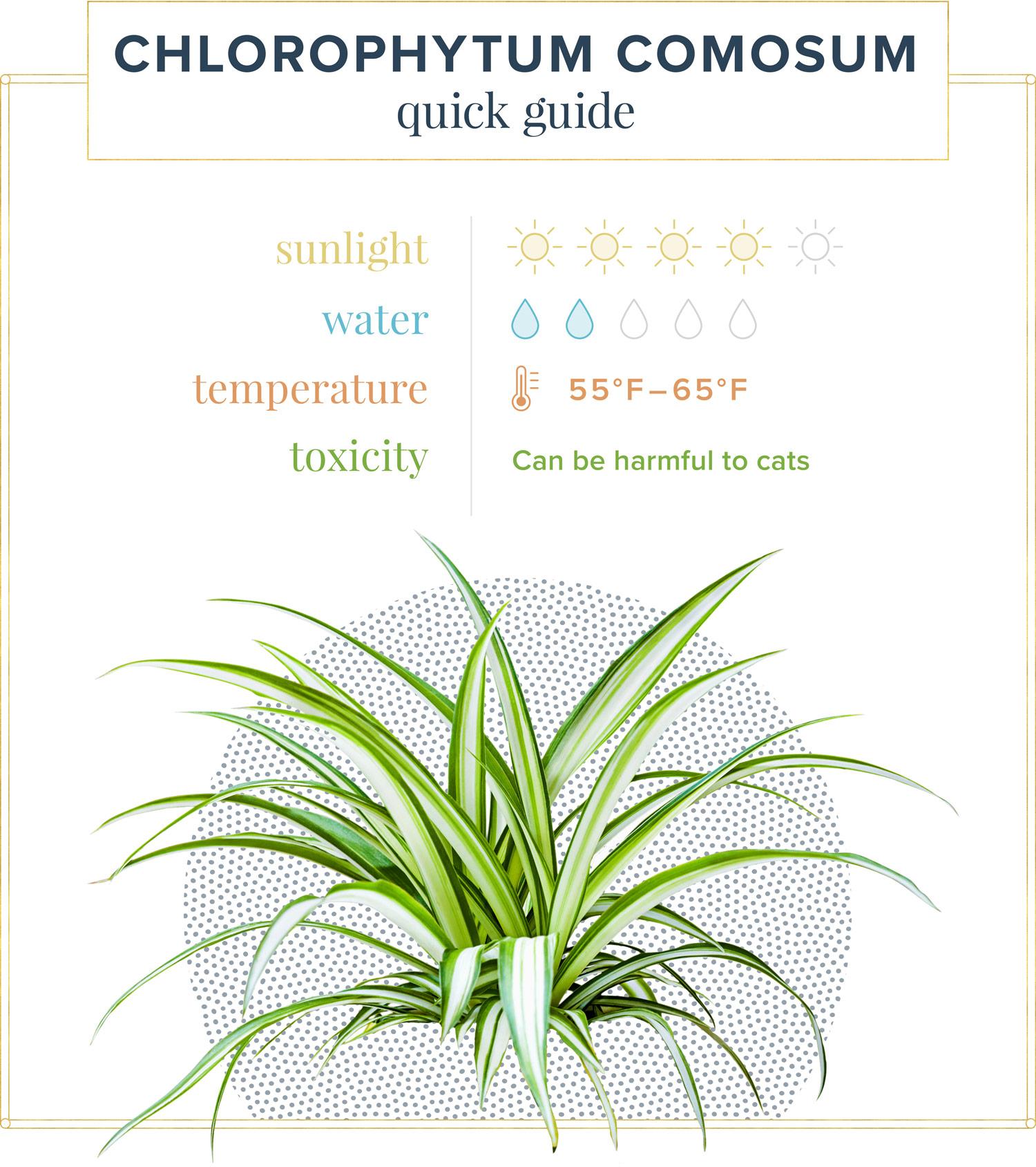 chlorophytum comosum quick care guide