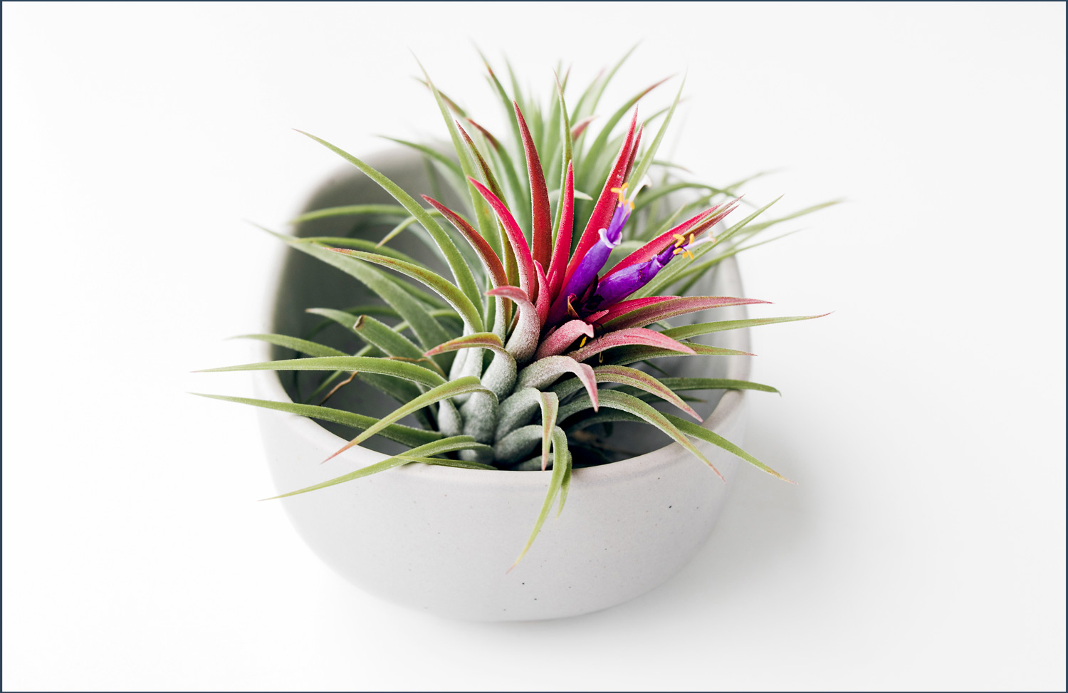an air plant in a white container