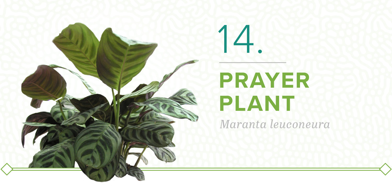 prayer plants that don't need sun