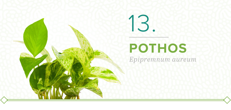 pothos plants that don't need sun