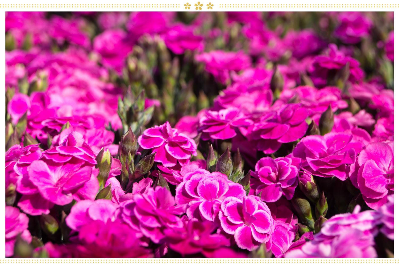 japanese flowers keneshon