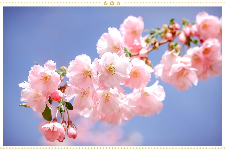 japanese flowers sakura