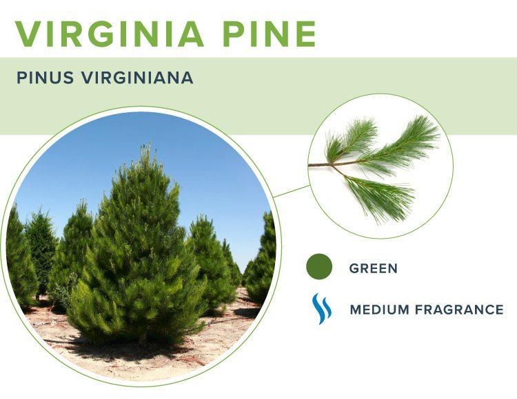 types of christmas trees virginia pine