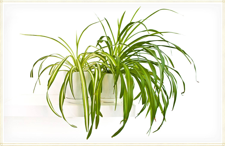 spider plant care chlorophytum comosum variegatum