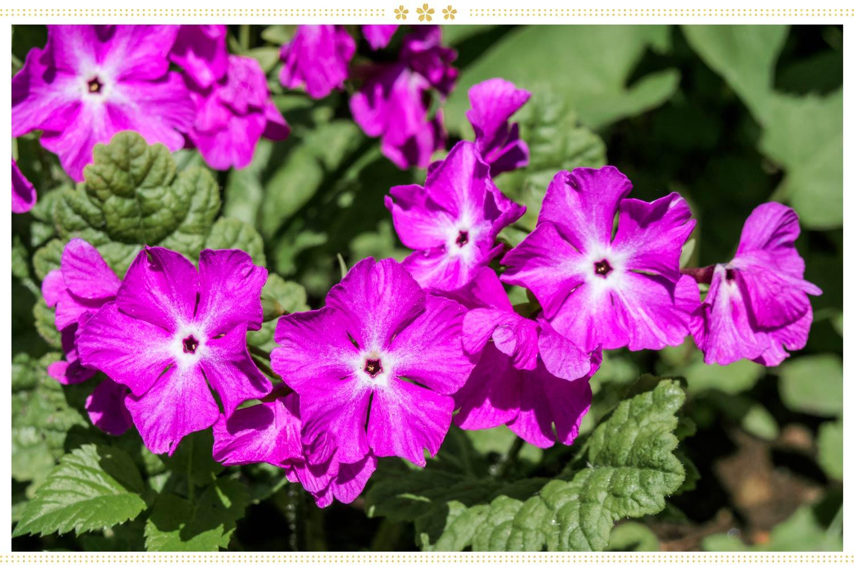 japanese flowers sakusarou
